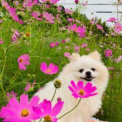 コスモス/ポメラニアン/愛犬 台風一過て蒸し暑い一日でした💦  庭の片…