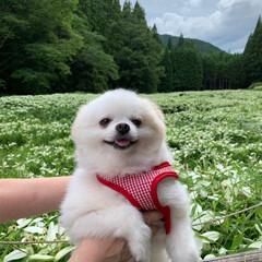 リフレッシュタイム/元保護犬/愛犬/ポメラニアン/犬派/LIMIAペット同好会/... リフレッシュしに半夏生園へ🐾🐾  例年だ…