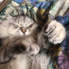 イケメン/モフモフ/LIMIAペット同好会/フォロー大歓迎/猫/にゃんこ同好会 すやすやピーピー