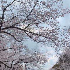 春の一枚/自然/お花見/桜の花/春休み/春/... 今しか撮れない桜の写真🌸 この写真は都内…