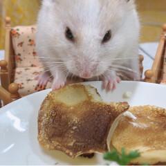 ハムスター/ハムスター大好き/ハムスター同好会 ちゃんと座ってご飯食べたよ🐹(2枚目)