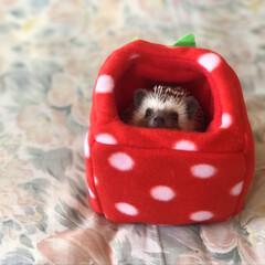 我が子自慢/可愛い/love/ハリネズミのいる暮らし/hedgehog/可愛いペット/... いちごHOUSEから…ひょっこり❤️ お…(2枚目)