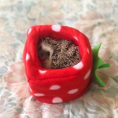 我が子自慢/可愛い/love/ハリネズミのいる暮らし/hedgehog/可愛いペット/... いちごHOUSEから…ひょっこり❤️ お…(3枚目)