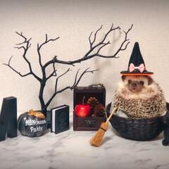 魔女/10/31/🍘/HELLOWEEN/hedgehoglife/hedgehog/... Happy🎃HappyHalloween…