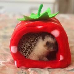 我が子自慢/可愛い/love/ハリネズミのいる暮らし/hedgehog/可愛いペット/... いちごHOUSEから…ひょっこり❤️ お…(4枚目)