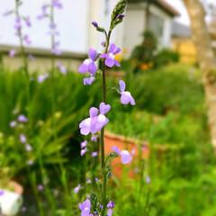 おはようございます/おはよう/春/日常生活/Flower/今日の写真/... おはようございます  窓の外から 「ホー…