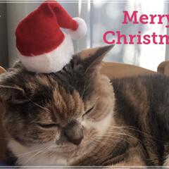 クリスマス/ペット仲間募集/LIMIAペット同好会/立ち耳スコ/スコティッシュフォールド/にゃんこ同好会/... メリークリスマス🎄 今日はごちそうあるか…