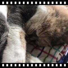 立ち耳スコ/ねこ/スコ/スコティッシュフォールド/猫/LIMIAペット同好会/... 本当、よく寝ます。