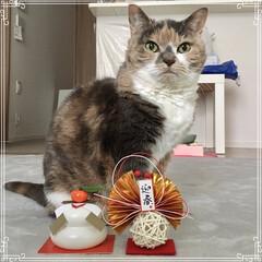 ねこ/ペット仲間募集/スコティッシュフォールド/猫/今年もよろしく/明けましておめでとうございます/... 明けましておめでとうございます🎍 今年も…