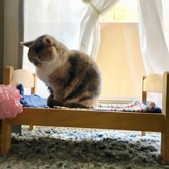 LIMIAペット同好会/にゃんこ同好会/ペット仲間募集/スコティッシュフォールド/猫/ねこ/... ムムのお気に入りのベッドです! ここでよ…