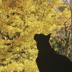 お家の出窓から/イチョウ/紅葉/LIMIAペット同好会/ペット/ペット仲間募集/... 紅葉を特等席で❤︎