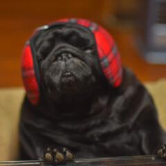 パグ ペット 愛犬 黒パグ/寝る/おやすみショット 耳あてをしてあげたらポカポカしてきたのか…