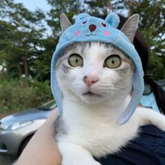 猫好きさんと繋がりたい/ダイソー/被り物/猫/保護猫 おはようございます😳🙌 只今、免許更新の…