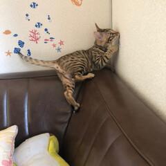 ベンガル/にゃんこ同好会/うちの子ベストショット 壁のシールを見つけた!瞬間の1枚と(^^…