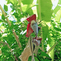 庭づくり/風景 勝手にバナナ。南国だとお放置栽培でバナナ…