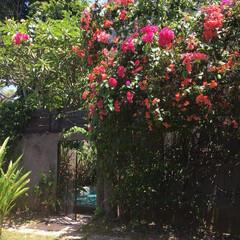 庭づくり/風景/わたしのお気に入り ブーゲンビリア真っ盛りのマイガーデン。