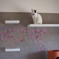 白黒猫/かたはちわれ/白黒トビ/じよん/ディアウォール/キャットウォーク/... * はじめての投稿です♪♪ 猫のためにD…
