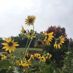 風景/令和元年フォト投稿キャンペーン まだ盛りではないけれど、向日葵🌻(1枚目)