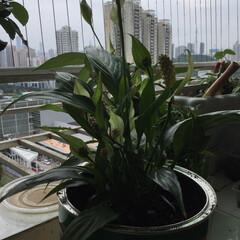 ガーデニング/暮らし/令和元年フォト投稿キャンペーン 植木鉢が狭くなり、葉の色が変わってきたの…(1枚目)