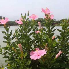 夏のお気に入り 水辺の風景 夏の花🌸ハイビスカス