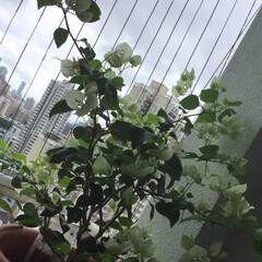 ガーデニング植物/風景/暮らし/わたしのお気に入り またまた満開! 長く楽しませてくれます。