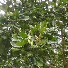 風景/令和元年フォト投稿キャンペーン 名前は分からない木 実が付いています。(1枚目)