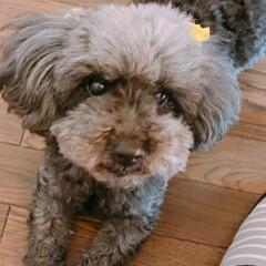 トイプードル/愛犬/多動飼い/ペット自慢 今日も娘のお弁当がお休みなので犬達を載せ…