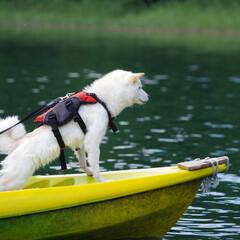 夏休み/極小豆柴/柴犬/豆柴/おでかけ/旅行/... 夏休みにカヤックに挑戦したよ✨ カッコイ…