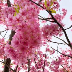 桜/春/LIMIAおでかけ部/フォロー大歓迎/おでかけ/旅行/... 今年は河津桜を泊まりでみにいきました🌸🌸…