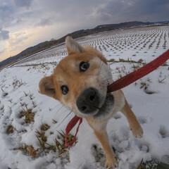 子犬/柴犬/GoPro/春のフォト投稿キャンペーン/LIMIAペット同好会/フォロー大歓迎/... 歯がかゆ〜いつくねちゃん🐶🦷💥 そしてま…
