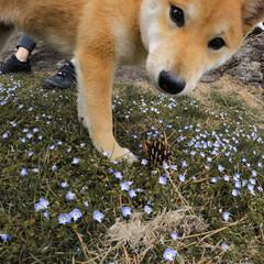 柴犬/子犬/GoPro/平成最後の一枚/春のフォト投稿キャンペーン/LIMIAペット同好会/... つくねたんとお散歩🎶🐶 可愛いお花がいっ…