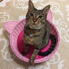 元保護猫/保護猫/LIMIAペット同好会/ペット/ペット仲間募集/猫/... はじめまして♡ キジトラのjardinと…