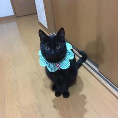 首輪 ザビエル ザビエル首輪つけてみたよ おひざが大好きなミックス猫「ぺり」