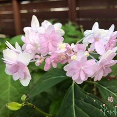 紫陽花/庭/庭のある暮らし/花/フォロー大歓迎/暮らし 今、お庭では ピンクの紫陽花が咲いていま…