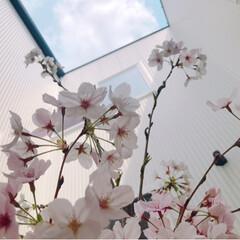 お花見/バーベキュー/風景/住まい/LIMIAお出かけ部/フォロー大歓迎/... 桜の貴重なこの季節。  お昼休みや夕方に…(3枚目)