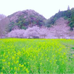 お花見/バーベキュー/風景/住まい/LIMIAお出かけ部/フォロー大歓迎/... 桜の貴重なこの季節。  お昼休みや夕方に…