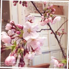 ダイニング/リビング/クリスマスローズ/ラベンダー/花/お庭/... 🌸こんにちはぁ~🌸  お部屋の桜の花が次…