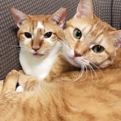 仲良し/茶トラ/茶白/元保護猫/ひなた/こはる/... いつもくっついて仲良しさん🐱