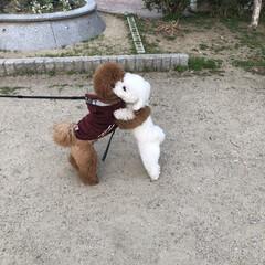 仲良し/散歩/トイプードル/ビションフリーゼ/ペット/わんこ/... ガシッと抱き合って遊びます❤︎ 仲良しの…