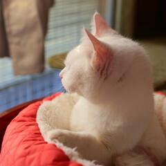 猫/白猫 ましろ