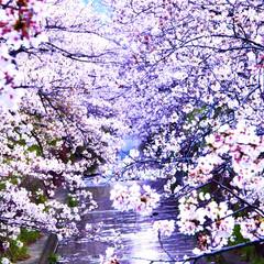 マスク/サクラ色/満開の桜/夜桜を見て思う/満開/桜/... おはようございます😃 静かです。  土曜…