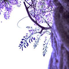 藤棚/藤の花 国指定天然記念物「黒木の大藤」の刈り取り…