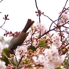 サクラ色/桜色/夜桜/夜桜を見て思う/満開の桜/満開/... こんにちは 自粛ムードで アドレナリンが…