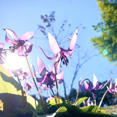 limiaキッチン同好会/新生活/LIMIAFESTA/キャンドゥ/ダイソー/セリア/... カタクリの花です 貴重な草花 その辺には…