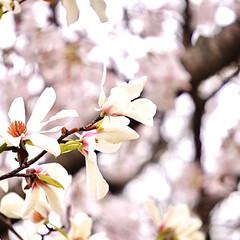 コブシの花/満開に咲いたよ/満開の桜/夜桜を見て思う/夜桜/桜色/... ソメイヨシノをバックにしコブシの花です …