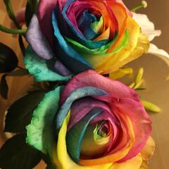 グラデーション加工/バラ 職場で飾ってあったバラ! こんなグラデー…