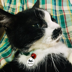 首輪/犬猫以外もいいぞ派/猫派/犬派/LIMIAペット同好会/にゃんこ同好会 痩せた海渡には、市販の首輪が太いのと、構…(1枚目)