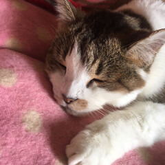 LIMIAにゃんこ同好会/寝顔/猫派 ヒナちゃん、スヤスヤ😴 可愛い寝顔です😊