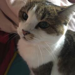 副作用/帯状疱疹/LIMIAペット同好会/猫派 ヒナちゃんが、なでなでして〜って顔で鳴く…