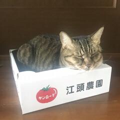 ダンボールは捨てられない/箱猫/LIMIAペット同好会/猫派 なっちゃんトマト🍅。 配送待ち〜。  新…